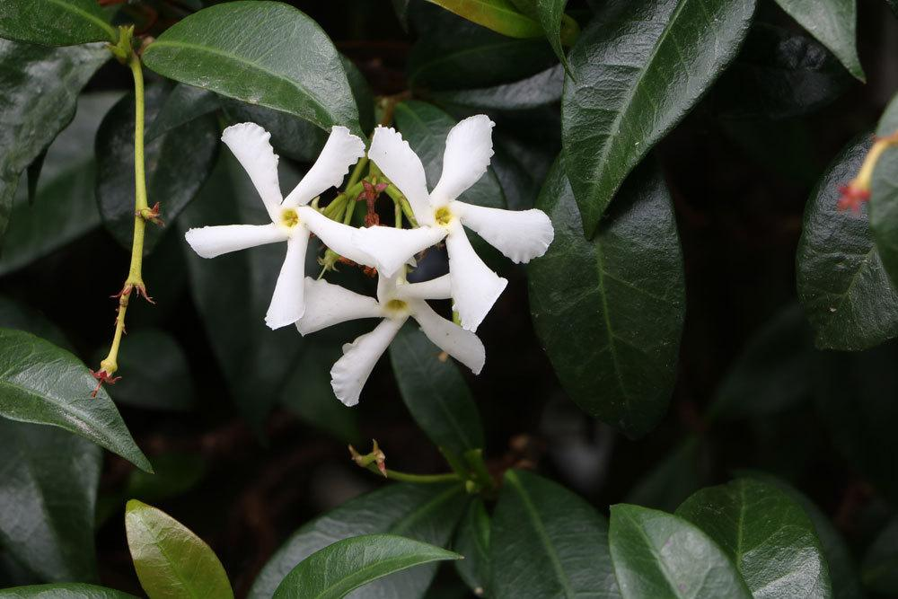 Trachelospermum jasminoides, Sternjasmin