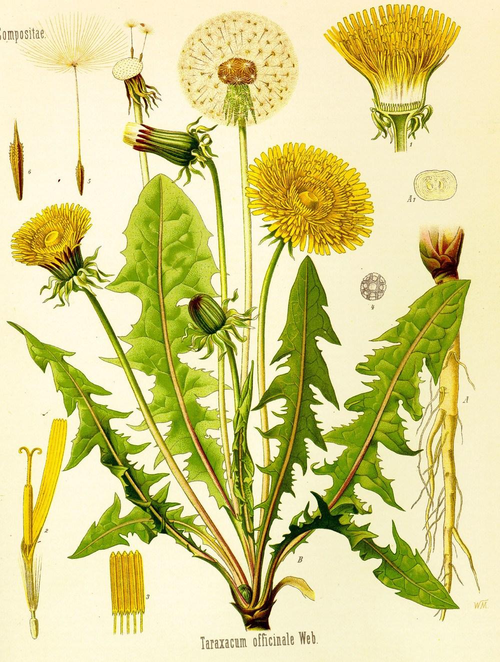 Bildtafel Löwenzahn aus Köhlers Medizinal Pflanzenlexikon