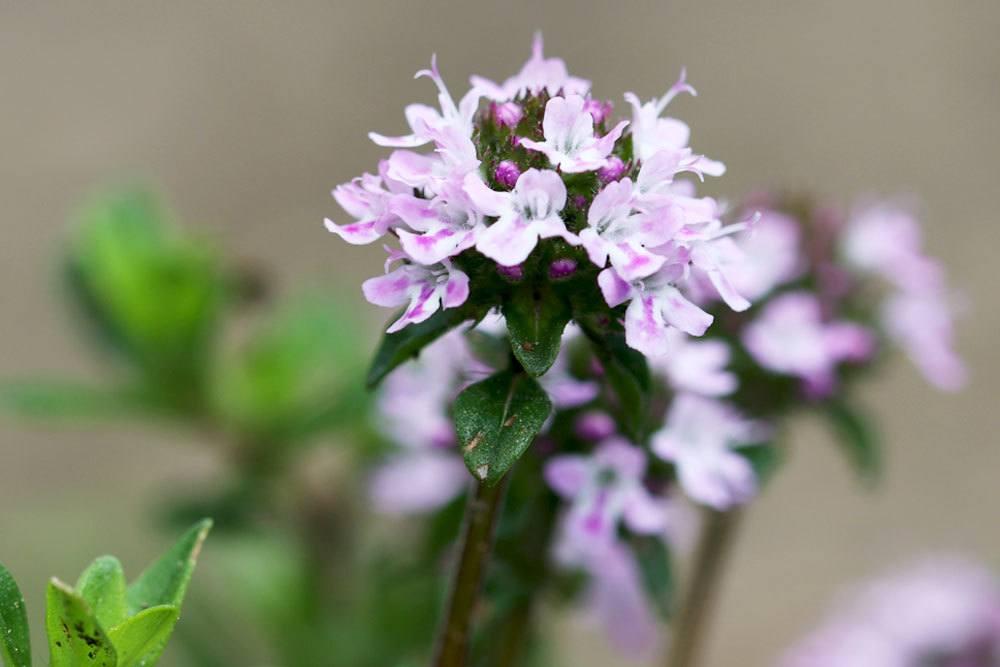 Die Blütenfarbe von Thymian variiert von Weiß über Rosa bis zu Violett
