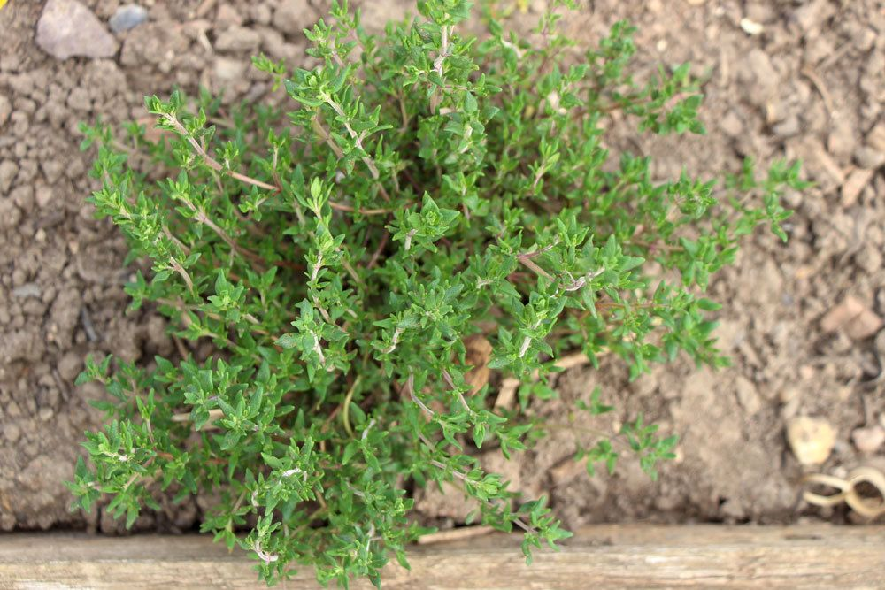 Thymian ist eine Steingartenpflanze