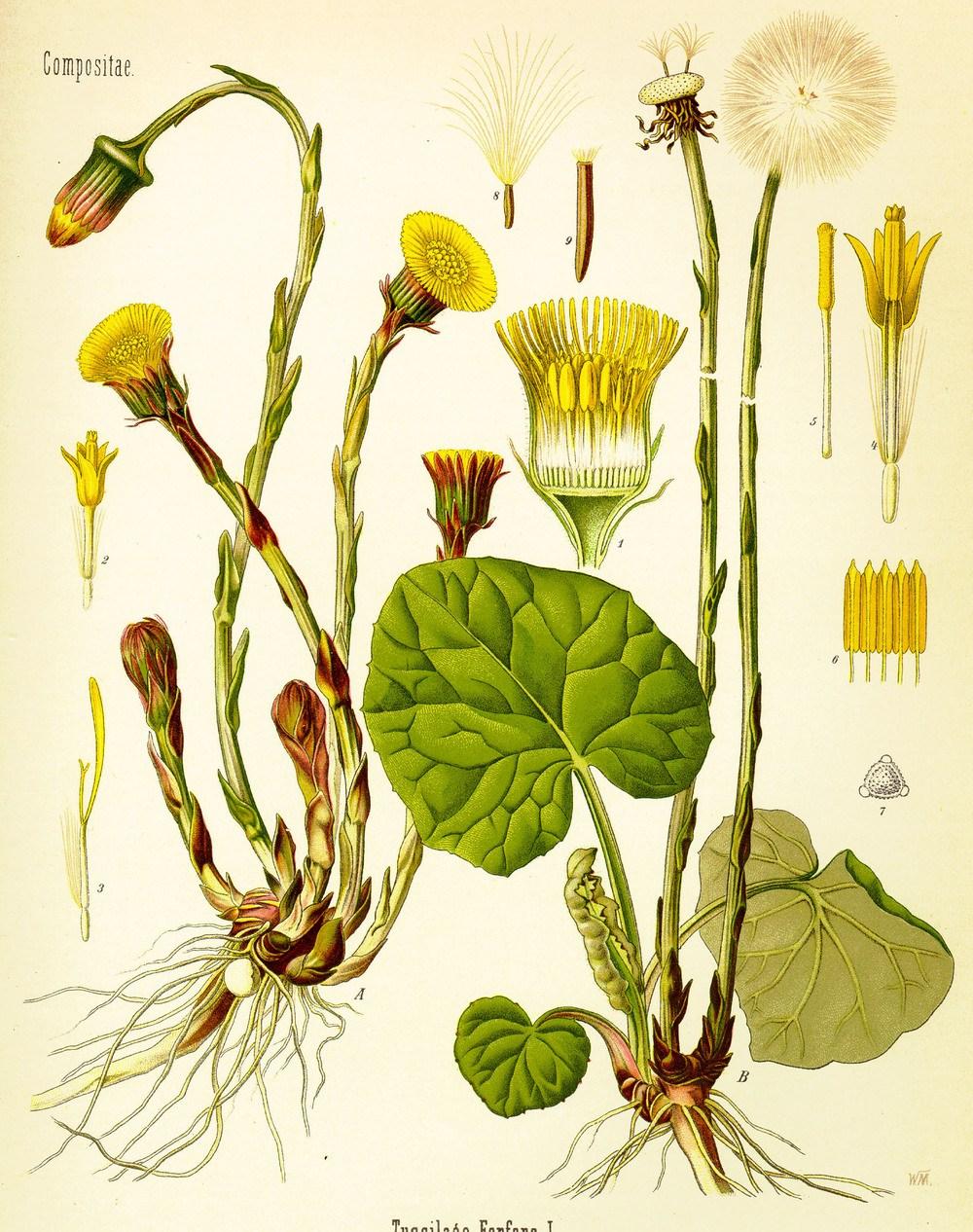 Huflattich aus Köhlers Pflanzenlexikon