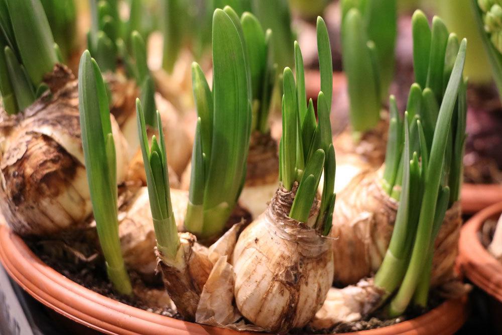 Blumenzwiebeln von Narzissen