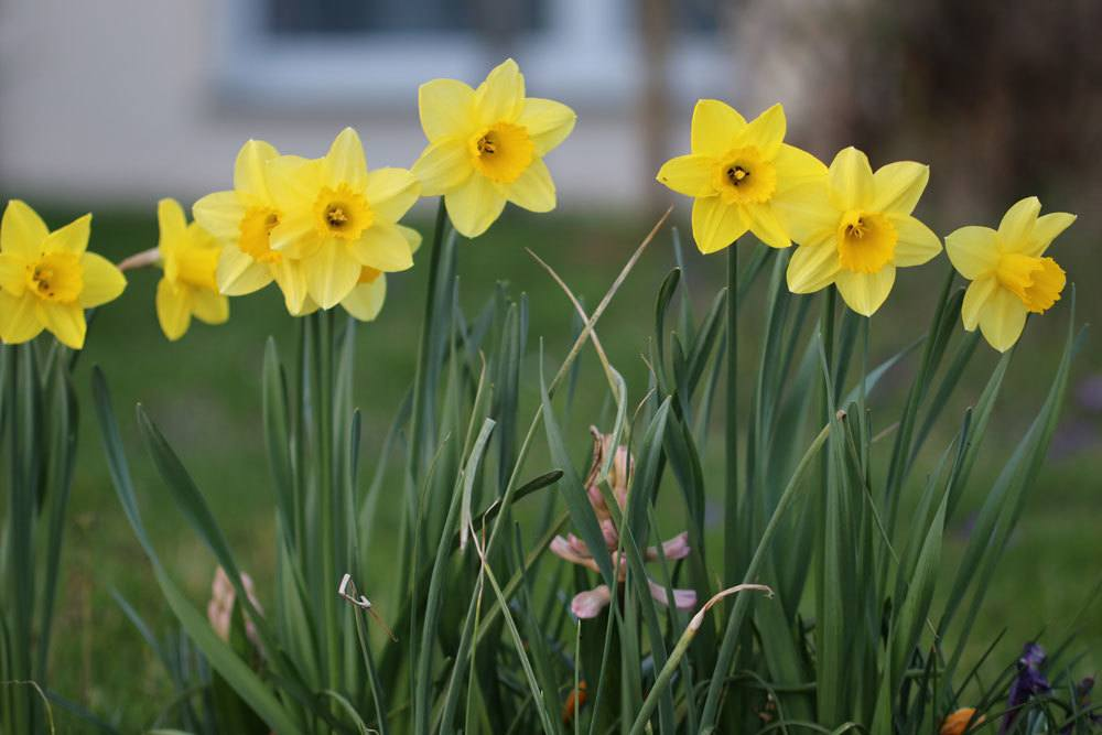 Narzissen, Narcissus