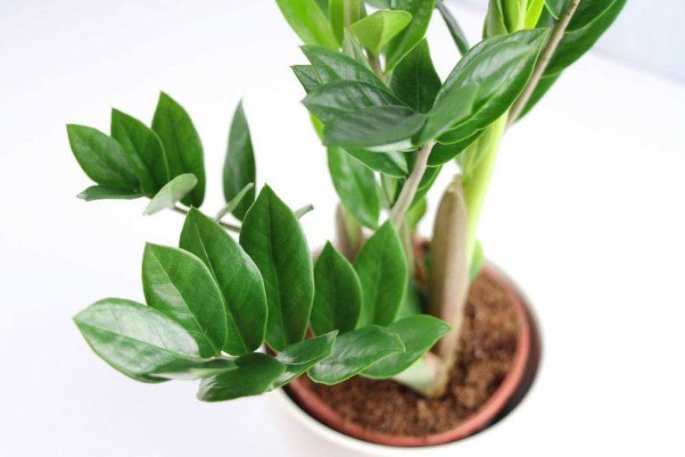 Zamioculcas zamiifolia, Zamie, Glücksfeder
