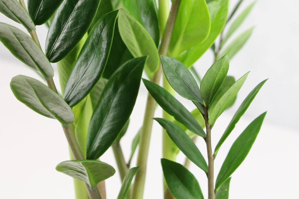 Zamie enthält giftige Pflanzenstoffe