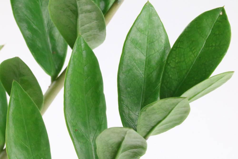 Zamioculcas zamiifolia ist eine beliebte Zimmerpflanze