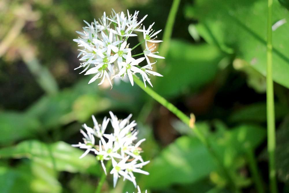 Bärlauch wird häufig mit Giftpflanzen verwechselt