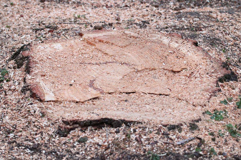 Baumstumpf eines gefällten Baumes