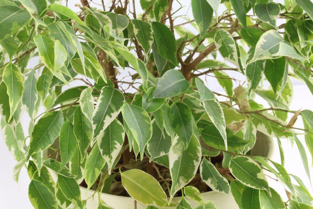 Ficus Benjamina verträgt keine Staunässe