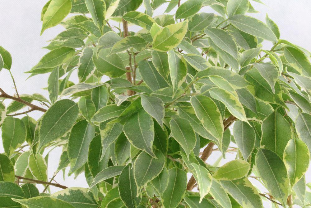 Ficus Benjamina sollte alle paar Jahre umgetopft werden