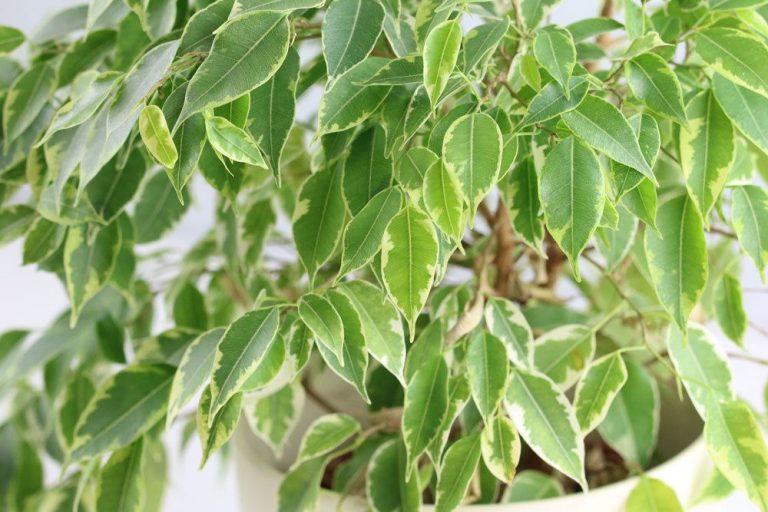 Birkenfeige, Ficus Benjamina