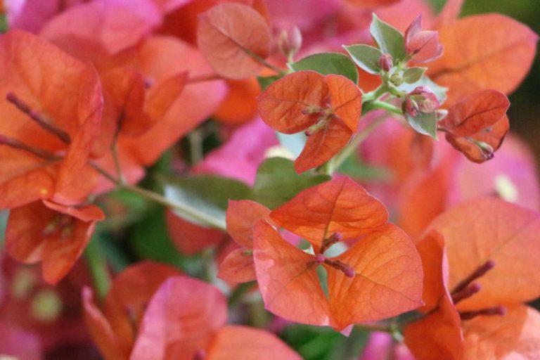 Bougainvillea ist eine schnittverträgliche Pflanze