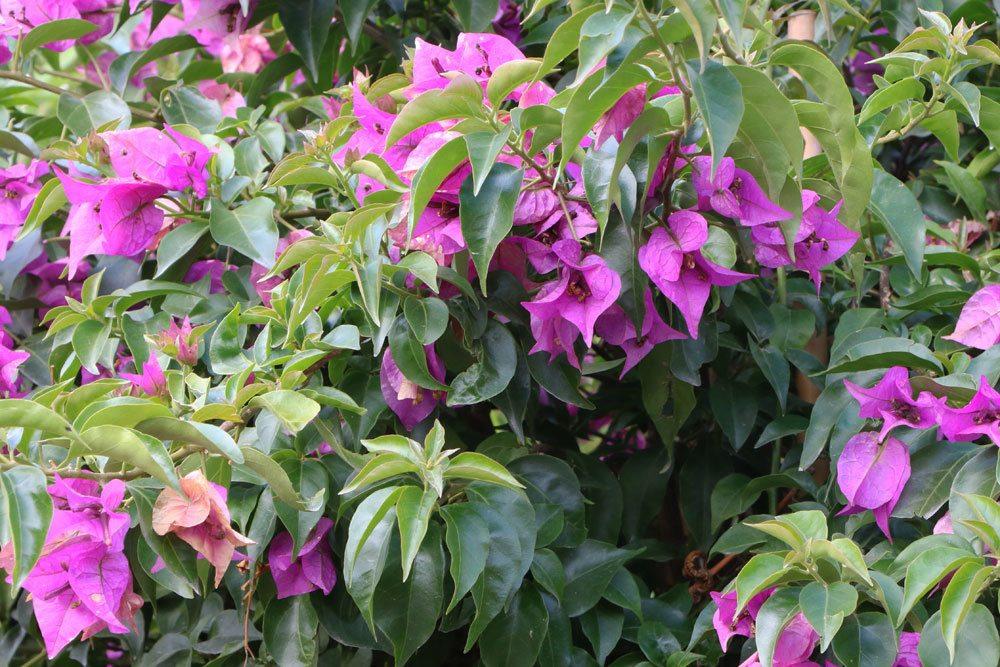 Bougainvillea schneiden, um die Pflanze zu verkleinern
