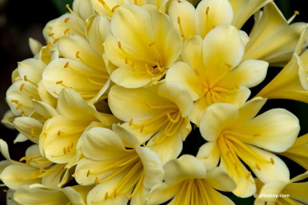 Zimmer-Klivie mit gelber Blütenfärbung