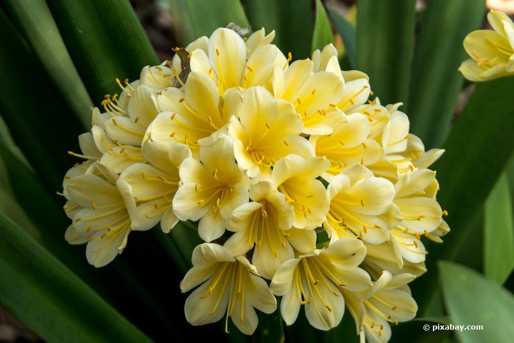 Klivie mit gelben Blüten
