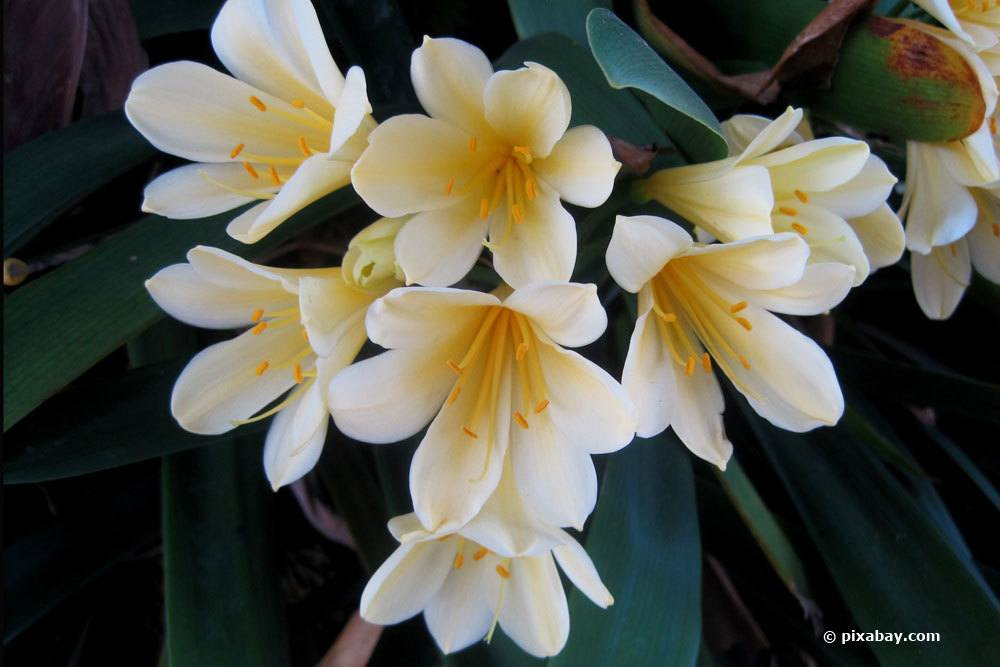 Clivie mit weißer Blütenfarbe