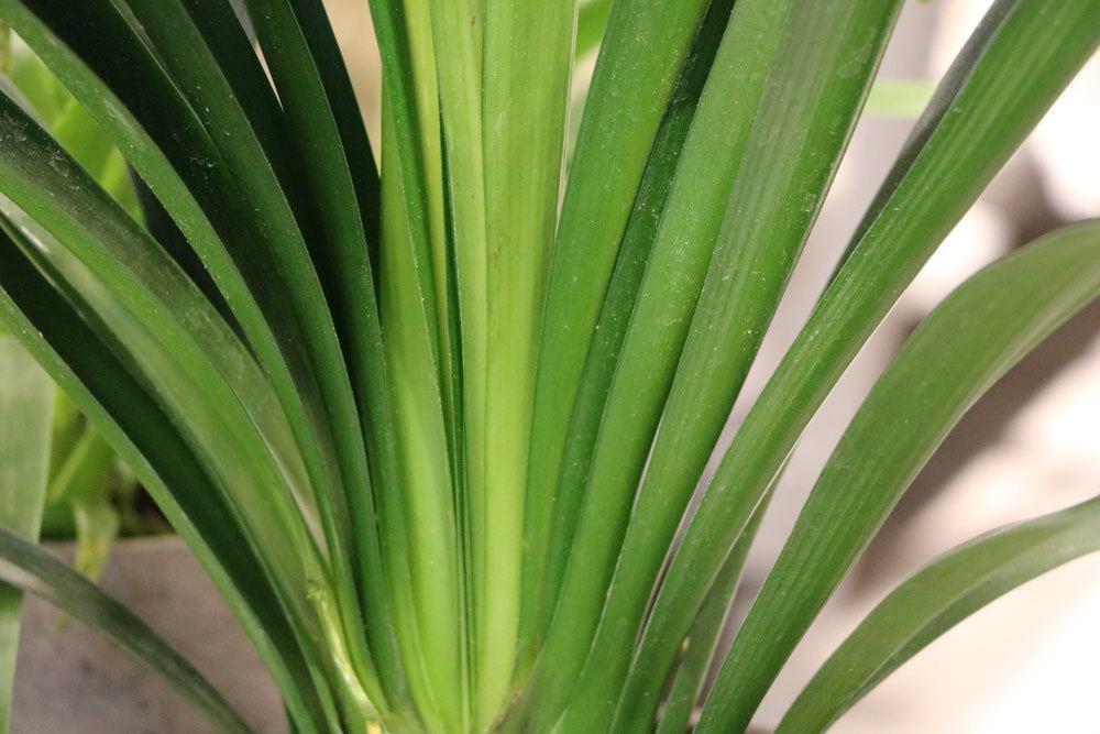 Clivie mit ihren langen, dunkelgrünen Blättern