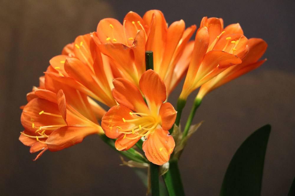 Clivie, Clivia pflegen und Klivien zum Blühen bringen