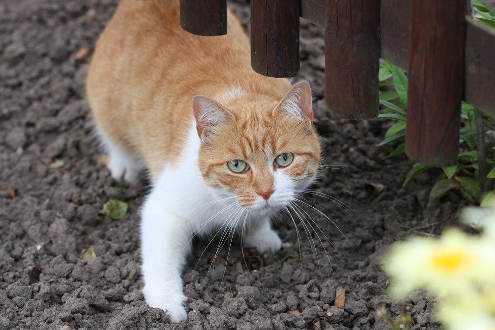 Katzen nehmen Giftstoff des Drachenbaums durch Ablecken auf