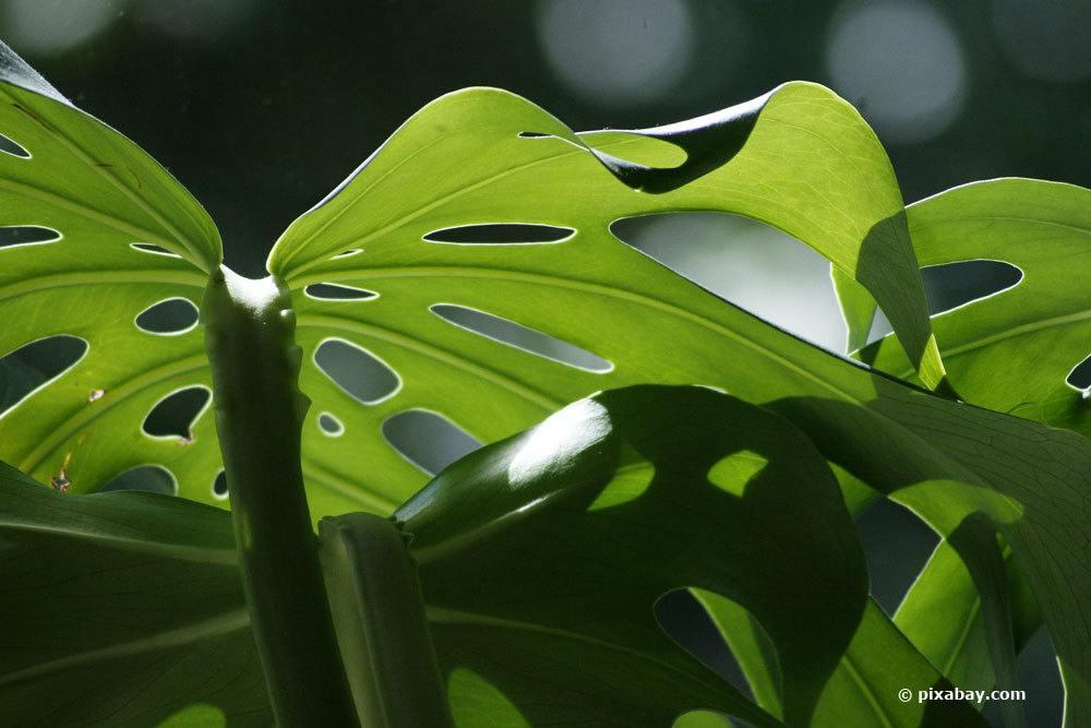 Fensterblatt bevorzugt halbschattigen Standort