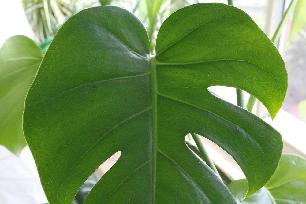 Fensterblatt mit großen Blättern