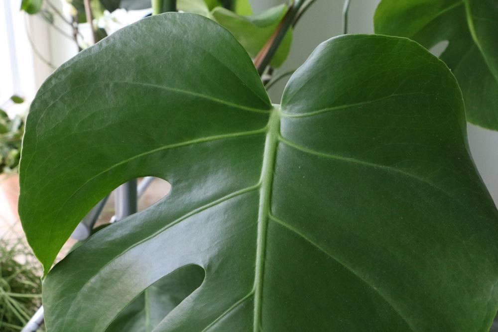 Monstera deliciosa besitzt panaschierte Blätter