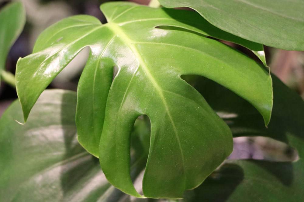 Monstera deliciosa, Fensterblatt vermehren als Zimmerpflanze