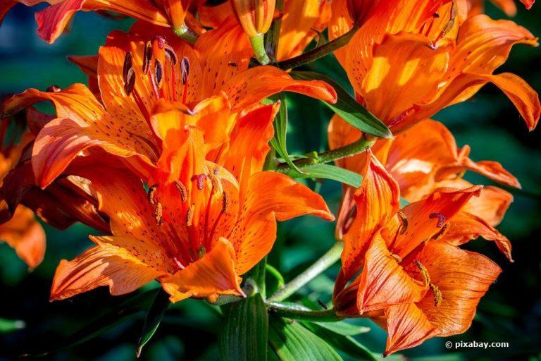 Lilium bulbiferum regelmäßig umtopfen, um Blühfreudigkeit zu erhalten
