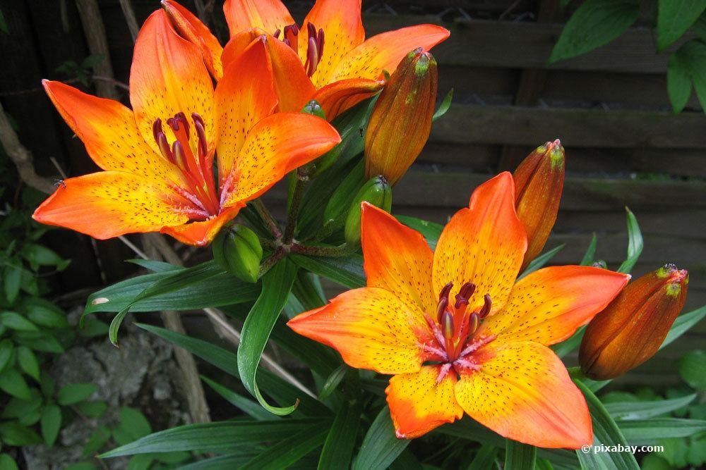 Lilium bulbiferum regelmäßig gießen