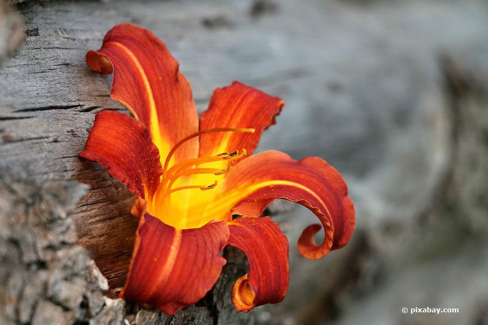 Feuerlilie ist eine mehrjährige Pflanze