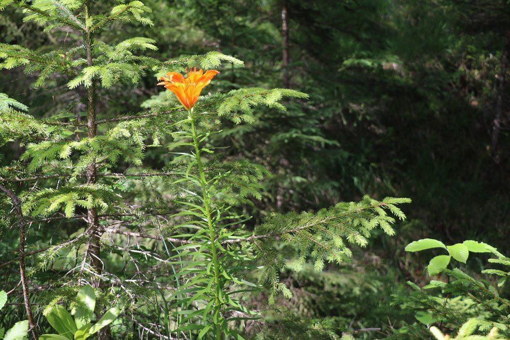 Feuerlilie wächst bis zu 120 Zentimeter hoch
