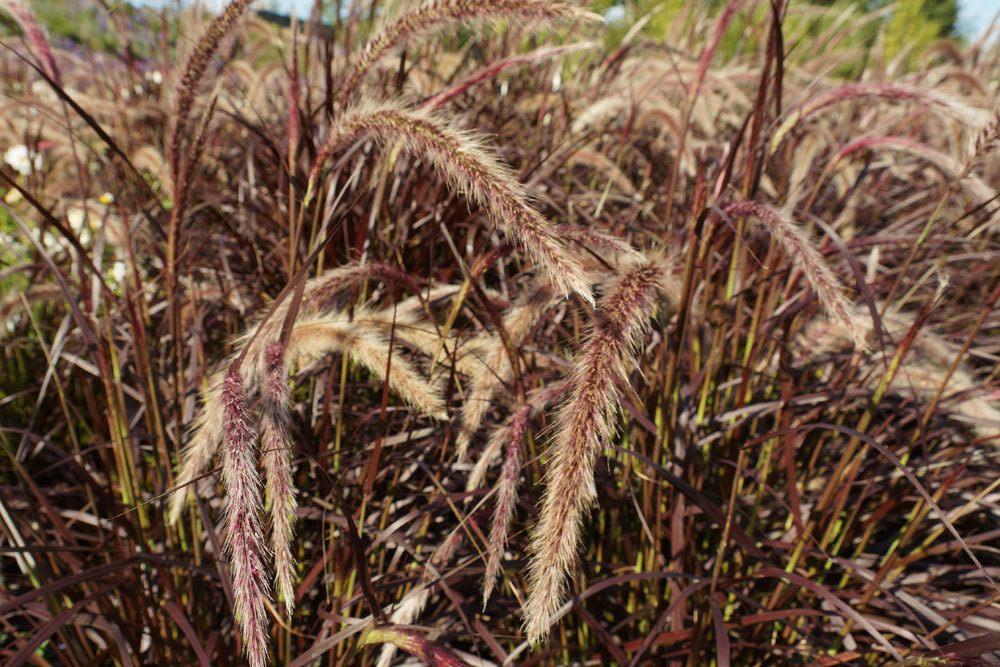 Pennisetum setaceum, Rotes Lampenputzergras