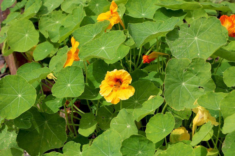 Blüte der Kapuzinerkresse