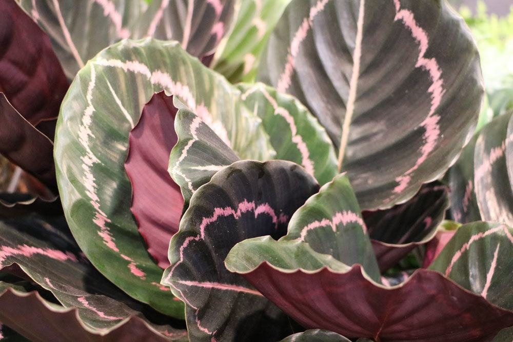 ist die korbmarante giftig calathea rufibarba lancifolia und crocata. Black Bedroom Furniture Sets. Home Design Ideas