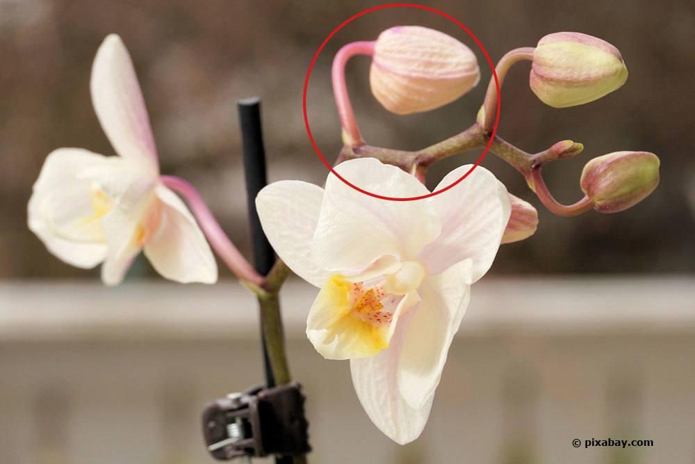 eingetrocknete Knospe an Blütenrispe der Orchidee