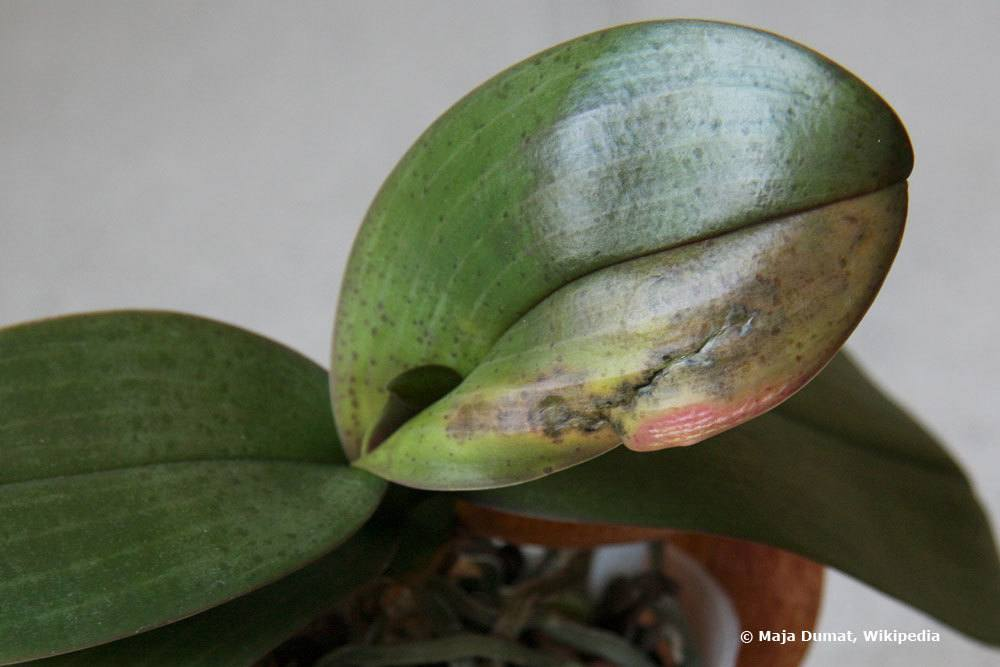 Infektion am Blatt der Orchidee