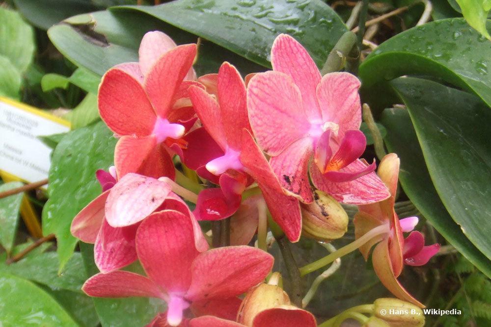 links oben im Bild brauner Fleck auf Orchideenblatt