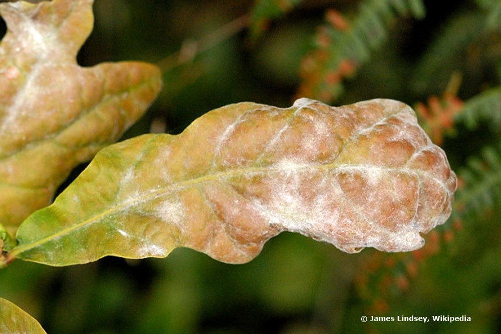 Mehltau auf einem Pflanzenblatt