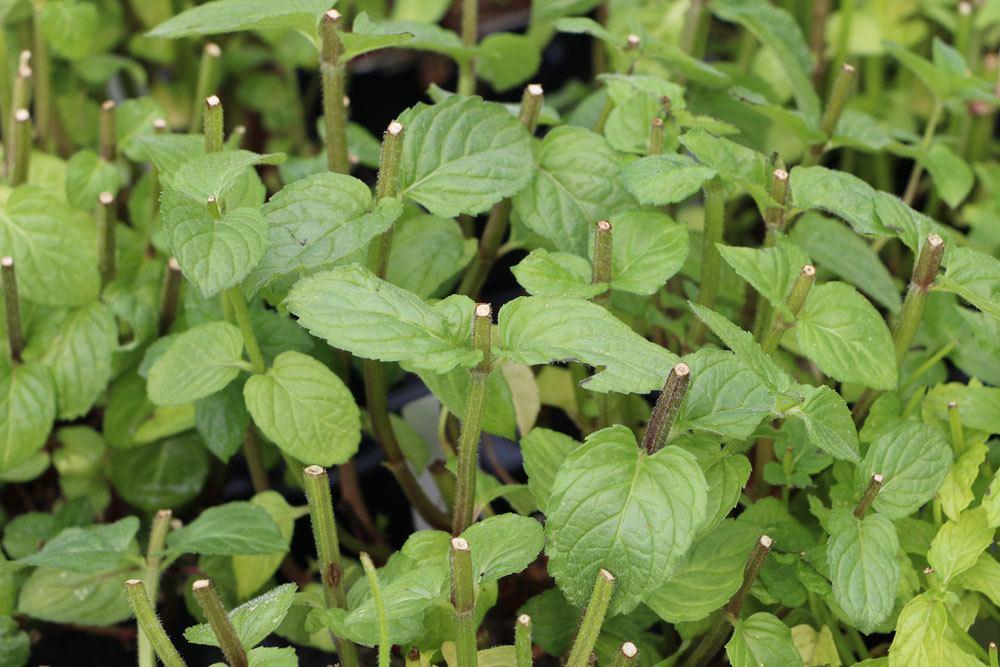 Pfefferminze auf verschiedene Arten vermehren