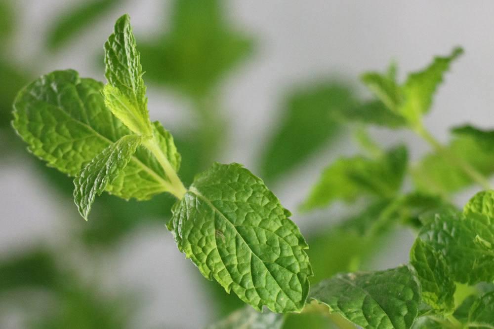 Minze besitzt einen aromatischen Duft