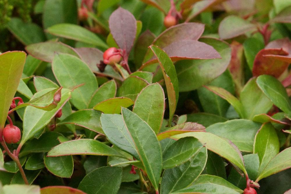 Gaultheria procumbens ist eine immergrüne Winterpflanze
