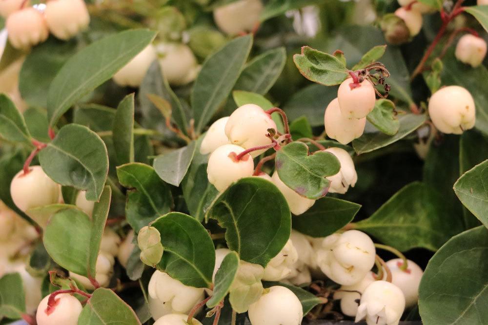 Gaultheria procumbens ist eine frostharte Pflanze