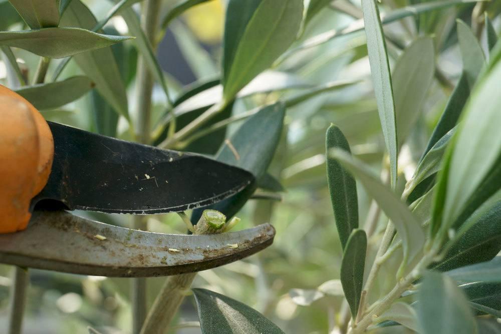 Olivenbaum vor Winterruhe nicht schneiden