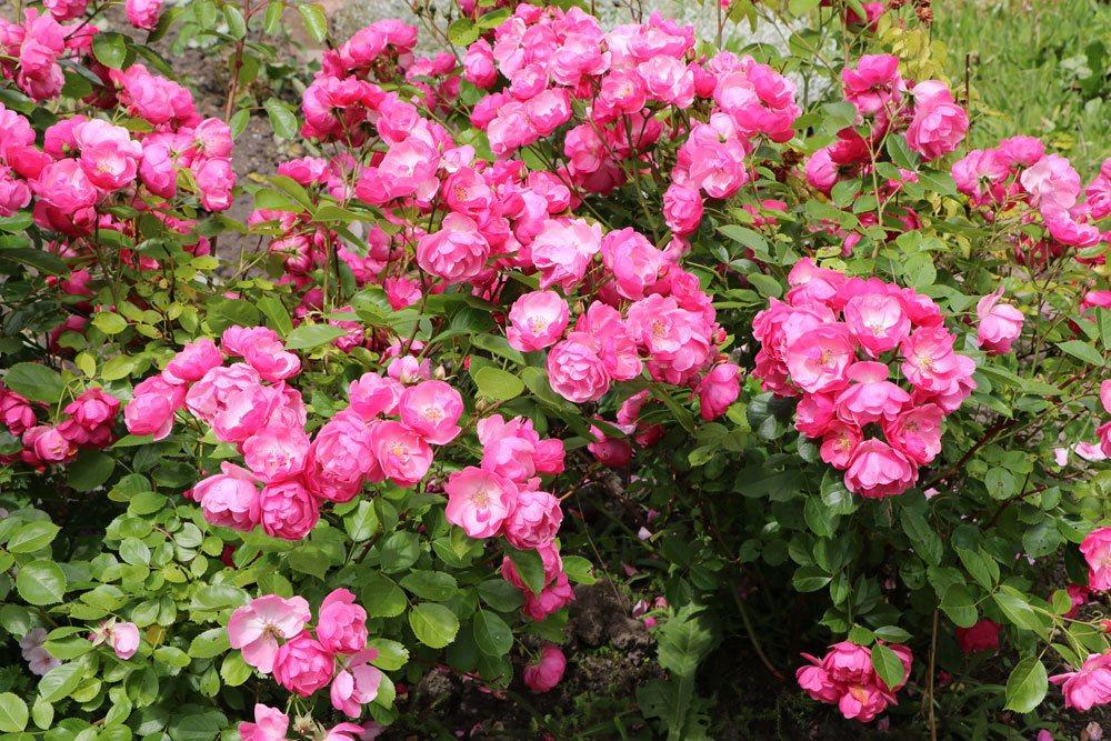 Rosen vor dem Frost zurückschneiden