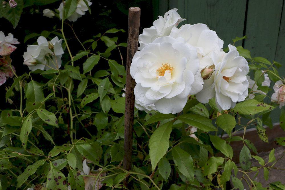 Rosen brauchen einen Herbstschnitt