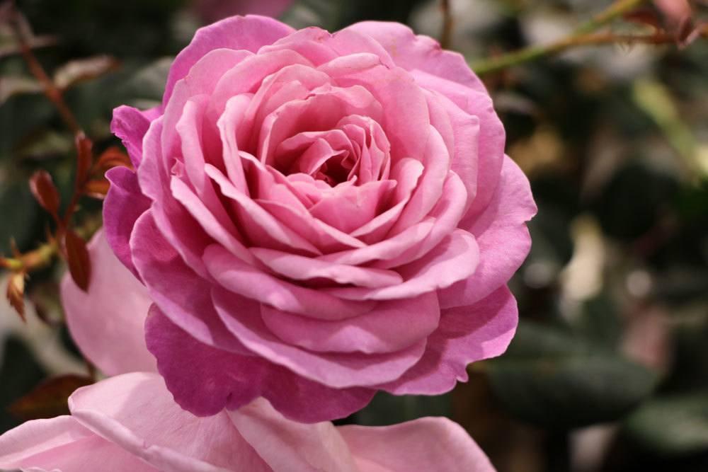 rosen schneiden wann erfolgt der rosenschnitt im herbst. Black Bedroom Furniture Sets. Home Design Ideas