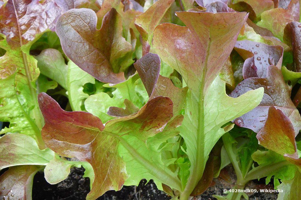 Eichblattsalat ist ein Pflücksalat