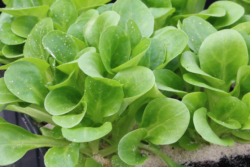 Feldsalat ist vielseitig einsetzbar