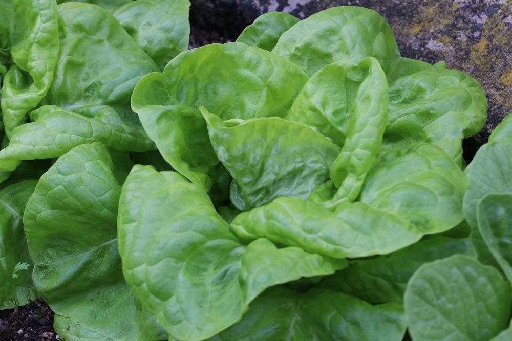 Kopfsalat mit seiner rundlichen Form