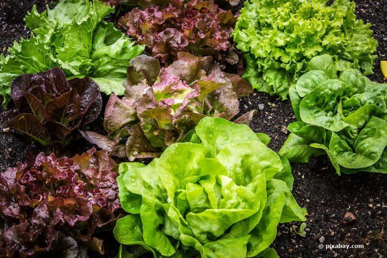 Salatsorten und Salatarten